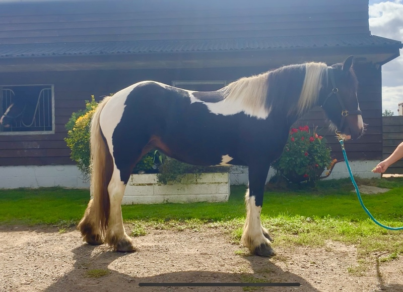 14.1hh cob mare 6 years old