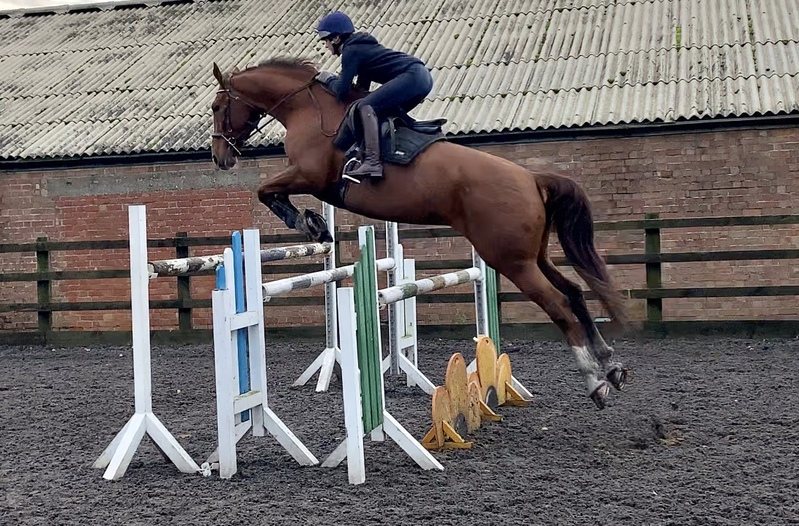 16.2hh well bred showjumping schoolmaster