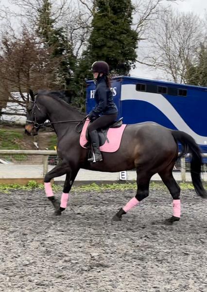 16.2 Irish sports horse