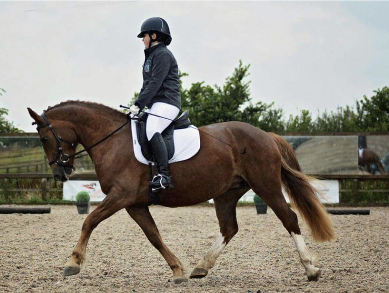 15.1 Welsh mare